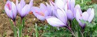 Bulbes de safran à planter