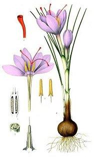 crocussativus botanique